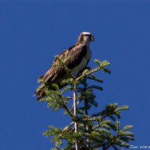 osprey-in-tree-2-large
