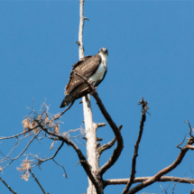 osprey-on-snag-large