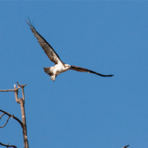 osprey-taking-off-large
