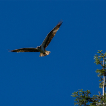 osprey-taking-flight-large