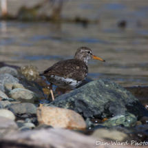 spotted-sandpiper-lake-siskiyou-large