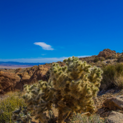 49-palms-oasis-trail-cholla-cactus