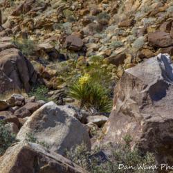 49-palms-oasis-trail-joshua-tree-park-yucca