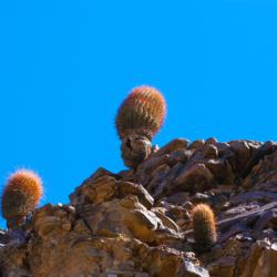 barrel-cactus