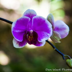 purple-orchid-2