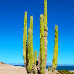 saguaro-catus