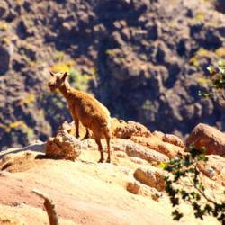waimea-canyon-goat