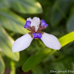 walking-iris