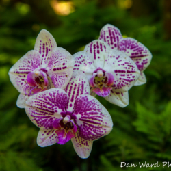 white-purple-orchids