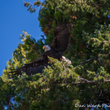 bald-eagle-taking-flight-from-tree