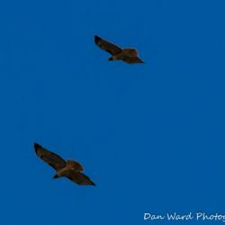 Dual Hawks-1