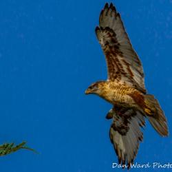 Feruginous Hawk Landing-1
