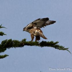 Feruginous Hawk Landing-2