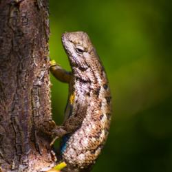Western Fence Lizard-2