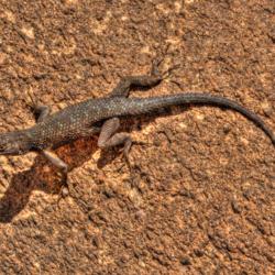 Western Fence Lizard-3