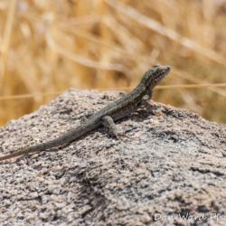 Desert Iguana-3