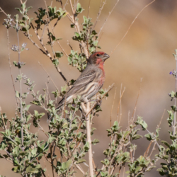House Finch In The Desert