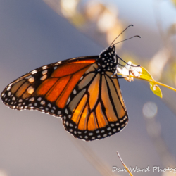 Monarch Butterfly-1