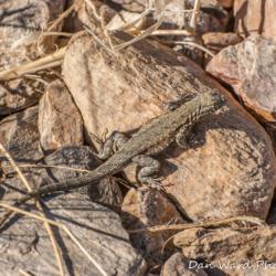 Western Fence Lizard-1