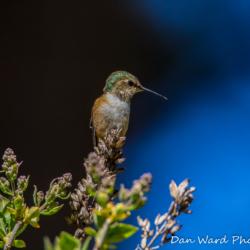 Annas Hummingbird-1