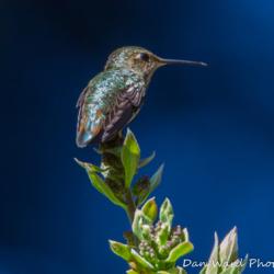Annas Hummingbird-2