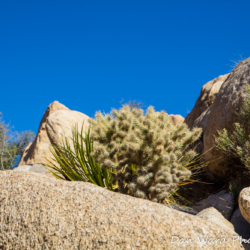 Cholla In Rock-Joshua Tree Park-2
