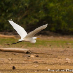 Egret In Flight-1