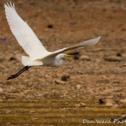 Egret In Flight-2