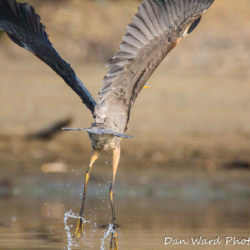 Great Blue Heron-Lift Off!
