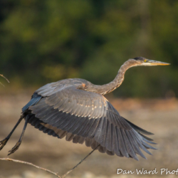 Great Blue Heron Taking Flight-4