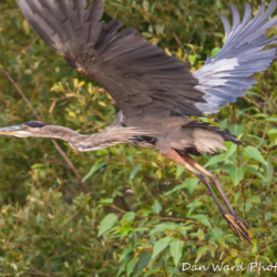 Great Blue Heron in Flight-1