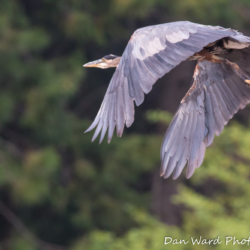 Great Blue Heron in Flight-2