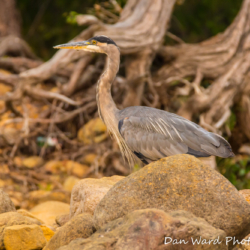 Great Blue Heron with Rocks