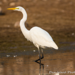 Great Egret-1 (2)