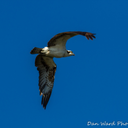 Osprey In Flight at Lake Siskiyou-4