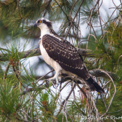Osprey In Tree-3