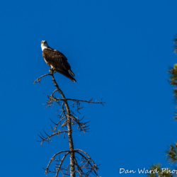 Osprey on Snag at Lake Siskiyou-3