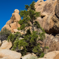 Pine Tree In Rocks-Joshua Tree Park-1