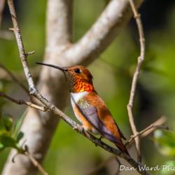Rufous Hummingbird-10