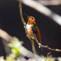 Rufous Hummingbird-11