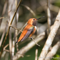 Rufous Hummingbird-2