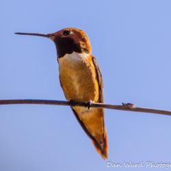 Rufous Hummingbird-5