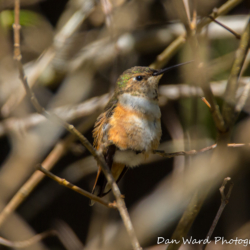 Rufous Hummingbird-6