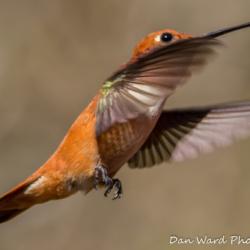 Rufous Hummingbird-7
