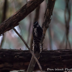 Three-Toed Woodpecker-1