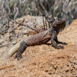 49 Palms Oasis-Chuckwalla Lizard-10