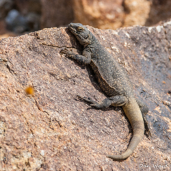 49 Palms Oasis-Chuckwalla Lizard-13