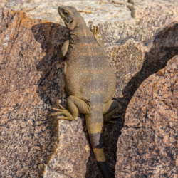 49 Palms Oasis-Chuckwalla Lizard-14