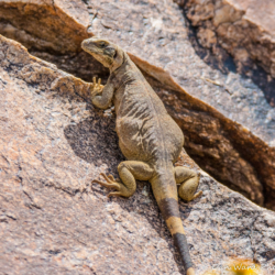 49 Palms Oasis-Chuckwalla Lizard-15
