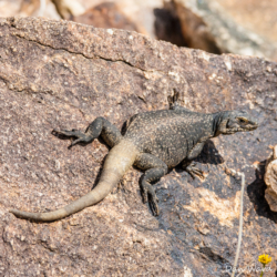 49 Palms Oasis-Chuckwalla Lizard-16